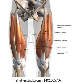 Male Anterior Quadriceps Muscles Labeled, 3D Rendering