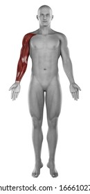 Male arm hand muscles anatomy isolated
