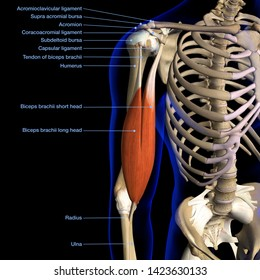 Male Biceps Muscle and Shoulder Ligaments Chart Labeled, 3D Rendering on Black Background