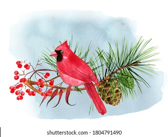 Male cardinal bird watercolor illustration, christmas winter bird on a pine branch with cones and red berries