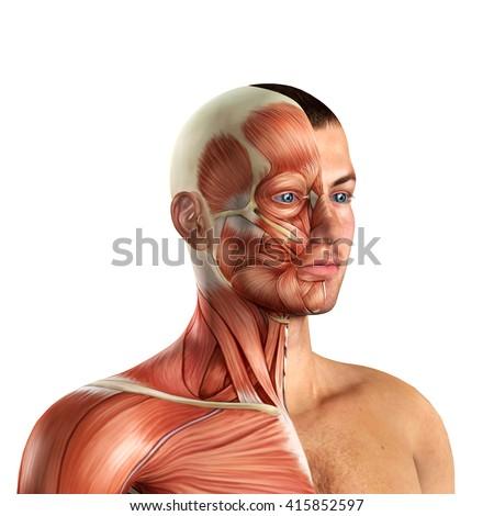 Male Face Muscles Anatomy 3 D Illustration Stock Illustration