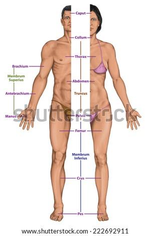 Male Female Anatomical Body Surface Anatomy Stock Illustration