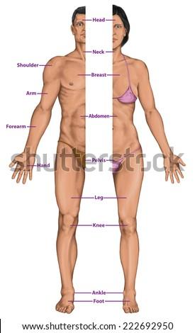 Male Female Anatomical Body Surface Anatomy Stock Illustration ...