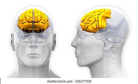 Frontal Lobe Diagram.Frontal Lobe Images Stock Photos Vectors Shutterstock