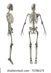 Male Full Skeleton Side and rear view