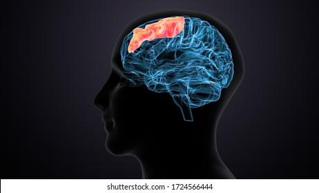 male human brain anatomy. 3d illustration