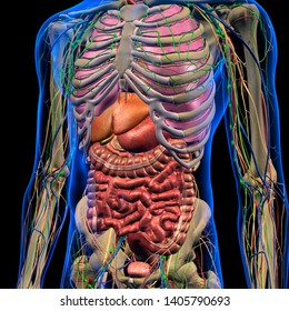 male internal anatomy of chest and abdominal area on black background, 3d  rendering
