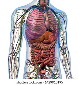 male internal anatomy of chest and abdominal area, 3d rendering