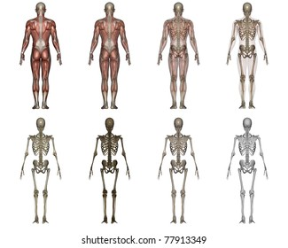 human anatomy transparency images stock photos vectors shutterstock https www shutterstock com image illustration male lay figure 77913349
