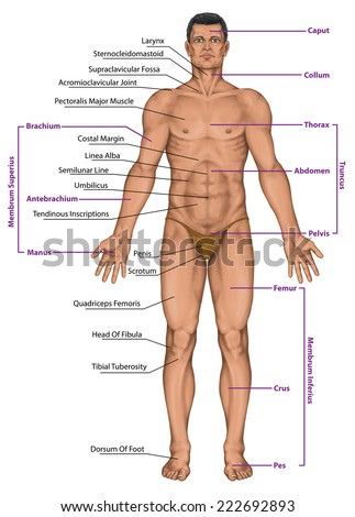 Male Masculine Mans Anatomical Body Surface Stock Illustration