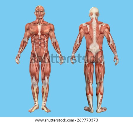 Male Muscle Anatomy Featuring Major Muscles Stock Illustration