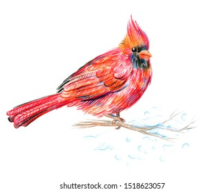 Male North American Cardinal. Closeup of a winter Cardinal. Red bird. Drawing with colored pencils.