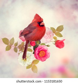 Male Northern Cardinal in the rose garden