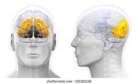 Occipital Lobe Images, Stock Photos & Vectors   Shutterstock