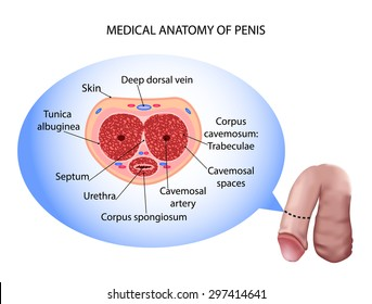 male penis anatomy