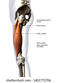 Male Quadriceps Muscles Lateral View Labeled, 3D Rendering