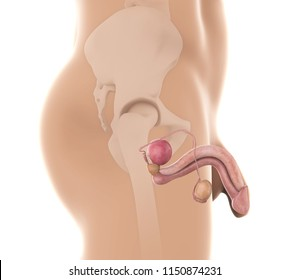 Male Reproductive System. 3D rendering