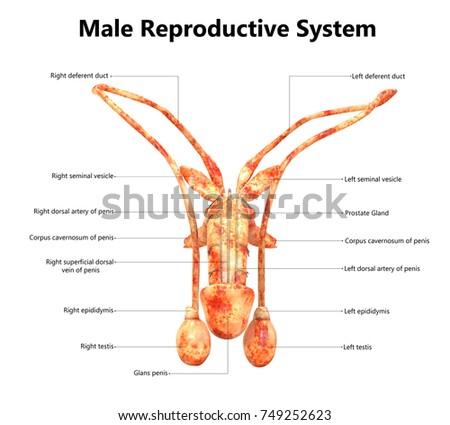 Male Reproductive Organs Diagram Lobster - Wiring Diagram ...