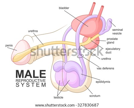 Male Reproductive System Diagram Cartoon Library Of Wiring Diagram