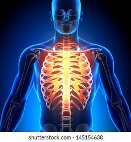 Male Rib Cage - Anatomy Bones