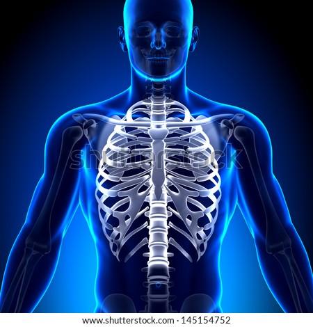 Male Rib Cage Sternum Anatomy Bones Stock Illustration 145154752