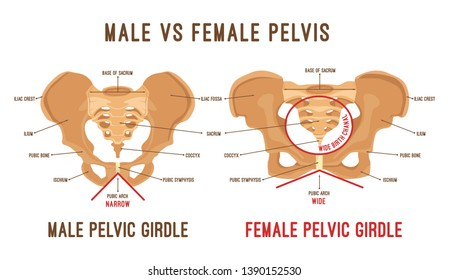 Male vs female pelvis. Main differences. Detailed illustration on a white background. Medical and anatomical concept.