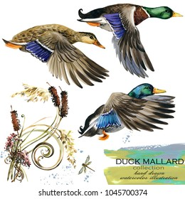 mallard duck hand drawn watercolor illustration set