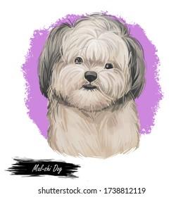 Mal-shi Dog isolated digital art illustration. Hand drawn dog muzzle portrait, puppy cute pet. Dog breeds originating United States. Mal-shi dog mixed breed of Maltese and Shih-Tzu, cross breed