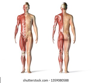 Man anatomy muscular and skeletal systems. Front and back view on white background. 3d rendering.