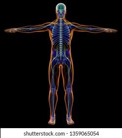 Man diagram x-ray nervous system. Full figure on black background. 3d rendering.