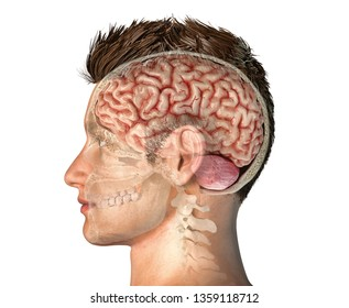 Man head with skull cross section with whole brain. Side view on white background. 3d rendering.