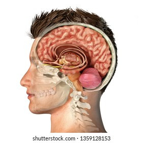 man head with skull cross section with cut brain  side view on white  background