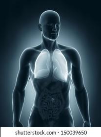 Man lungs anatomy anterior view