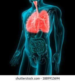 Man lungs anatomy with bronchial tree. 3D illustration