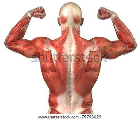 Man Muscles Anatomy Bodybuilder Pose Posterior Stock Illustration