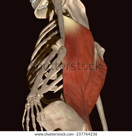 Man Muscles Anatomy Side View Stock Illustration 237764236 ...