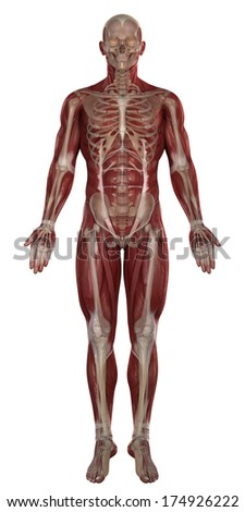 Man Muscles Skeleton Anatomy Isolated Stock Illustration Royalty