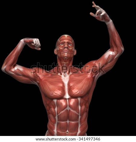 Man Muscular Anatomy Bodybuilder Pose Stock Illustration 341497346