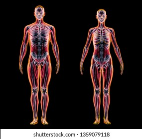 Man and woman muscle and skeletal systems. X-ray. 3d rendering.