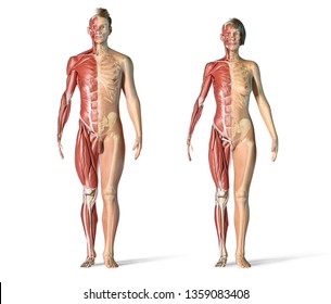Man and woman muscle and skeletal systems front view. Full figure standing on white background. 3d rendering.