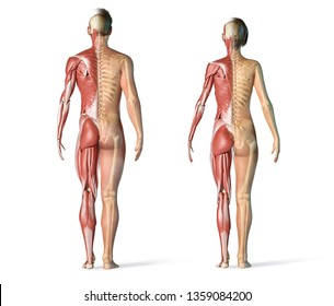 Man and woman muscles and skeletal systems rear view. Full figure standing on white background. 3d rendering.