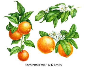 Mandarin branches with green leaves, flowers on an isolated white background, watercolor illustration, collection of citrus fruits, orange, botanical painting