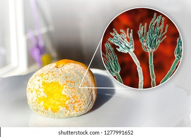 Mandarin with mold. Photo and 3D illustration of microscopic fungi Penicillium which cause food spoilage and produce antibiotic penicillin
