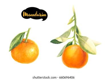 Mandarin watercolor illustration. Citrus fruit branch mandarin isolated on white background.