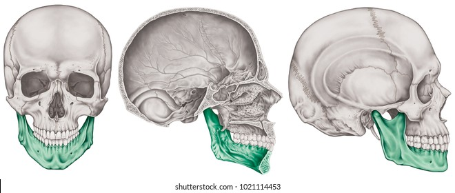 The mandible bone of the cranium, the bones of the head, skull. The individual bones and their salient features in different colors. Anterior, lateral and sagittal view.