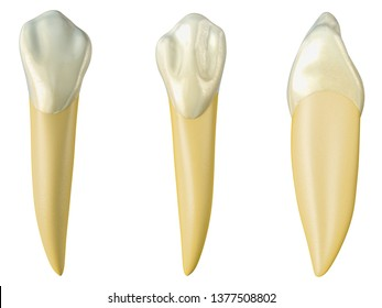 mandibular canine tooth in the buccal, palatal and lateral views. Realistic 3d illustration of mandibular canine tooth.