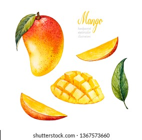 Mango. Botanical watercolor hand drawn illustration. Exotic fruit. Watercolor mango