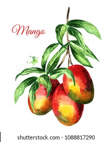 Mango branch with green leaves and mango fruits. Watercolor hand drawn illustration  isolated on white background