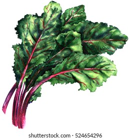 Mangold, chard, fresh green leaves of beet isolated, watercolor illustration