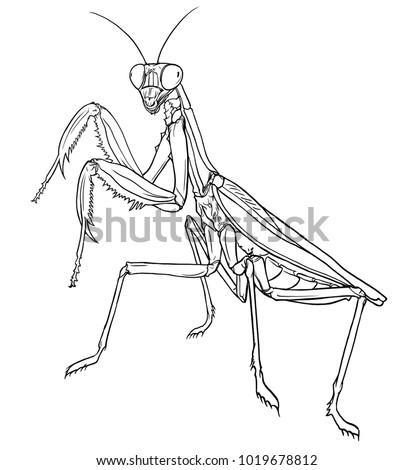 Royalty Free Stock Illustration Of Mantis European Mantis Praying